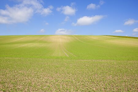 an extensive hillside pea crop on chalky soil with lines and patterns in the yorkshire wolds under a blue sky in summer