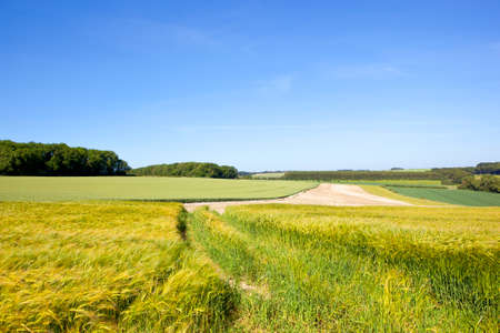 summer woodland with golden ripening barley in the yorkshire wolds under a blue sky in summer Stock Photo