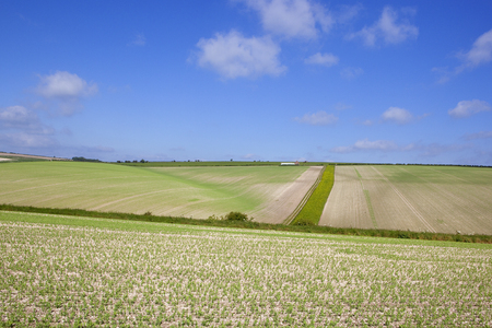 extensive: extensive pea crops on chalky soil in the rolling hills of the yorkshire wolds under a blue sky in summer
