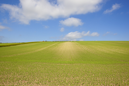 a young green pea field on chalky hillside soil with an old farm in the yorkshire wolds under a blue cloudy sky in summer