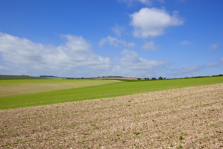 undulating chalky hills with extensive pea crops and hedgerows in the yorkshire wolds under a blue sky in summer