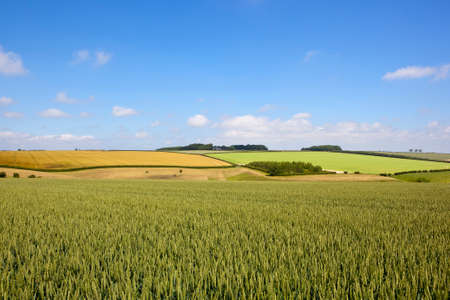 a green wheat crop with a picturesque backdrop in summer under a blue sky in the yorkshire wolds