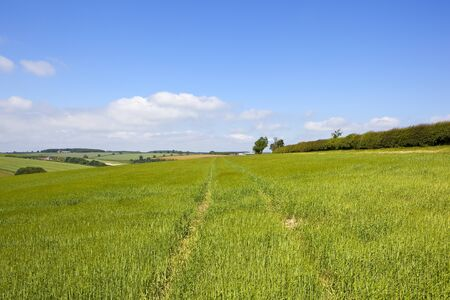 a young crop of barley near a hawthorn hedgerow in the scenic yorkshire wolds under a blue cloudy sky in summer