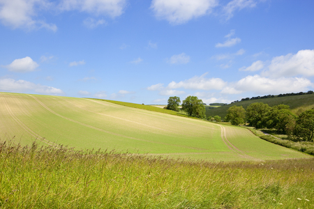scenic pea fields on chalky soil with trees and meadows and a foreground of wild grasses under a blue summer sky in the yorkshire wolds
