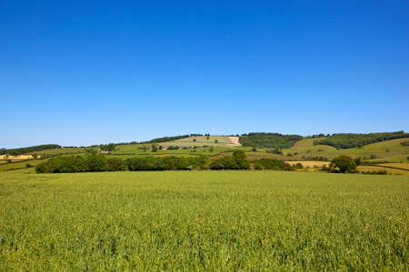 a green oat crop with a backdrop of patchwork fields in the agricultural yorkshire wolds under a blue summer sky