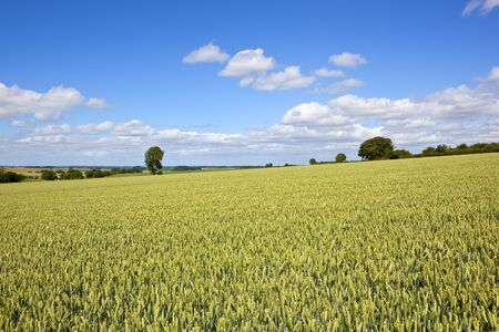 a green golden summer wheat field in the scenic yorkshire wolds under a blue sky with fluffy white clouds