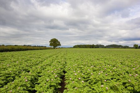 a flowering potato crop with woods and hedgerows on the horizon under a cloudy sky in summer in yorkshire Stock Photo