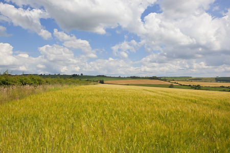 a golden barley crop with a hedgerow and patchwork fields in the scenic yorkshire wolds under a summer blue sky with white clouds