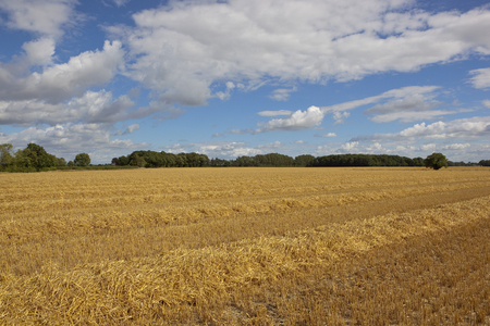 a golden straw stubble field at harvest time with trees on the horizon under a blue summer sky in yorkshire Stock Photo