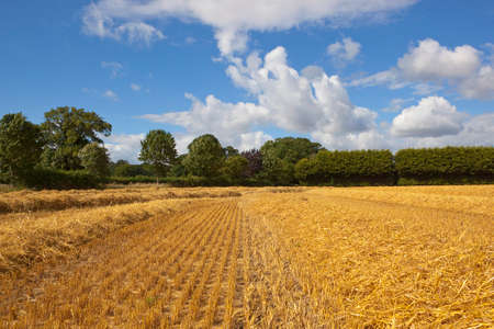 a golden stubble field at harvest time with drying straw in lines near a small woodland in yorkshire under a blue summer sky