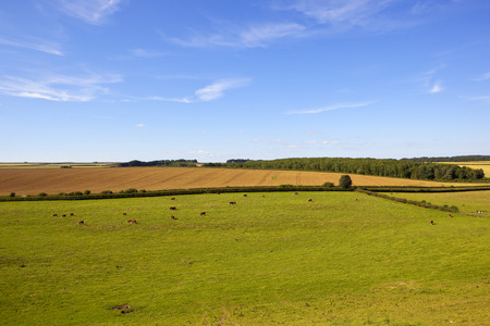 a traditional summer english landscape with woodland and patchwork fields and hereford cows grazing under a blue summer sky in the yorkshire wolds