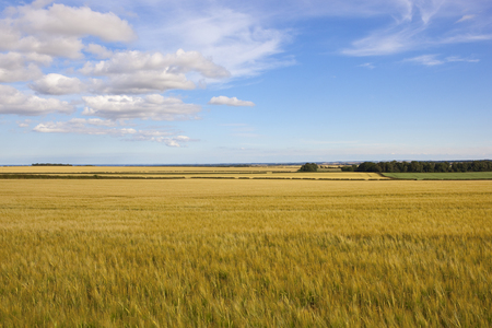 golden ripening barley fields in the yorkshire wolds with hedgerows and trees under a blue summer sky Stock Photo