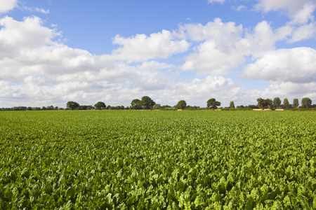 Green foliage of a sugar beet crop with trees on the horizon under a blue summer sky in Yorkshire