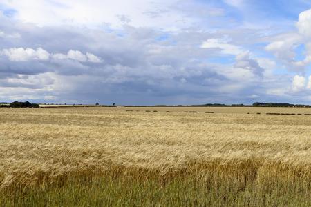 木とヨークシャー森の中で夏の曇り空の下で生け垣の収穫時に熟したゴールデン大麦 写真素材