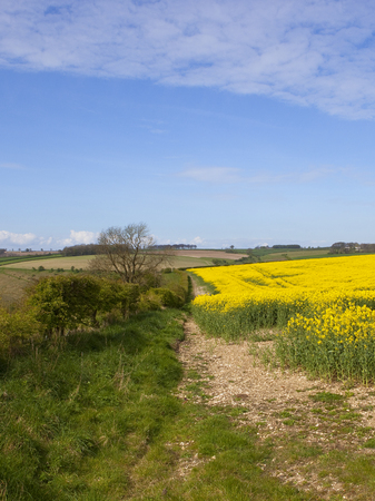 a country hedgerow in scenic yorkshire wolds landscape with a flowering oilseed rape crop under a blue springtime sky