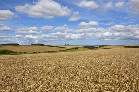 extensive golden wheat crop with a valley and hills and hedgerows under a blue summer sky in the yorkshire wolds Stock Photo