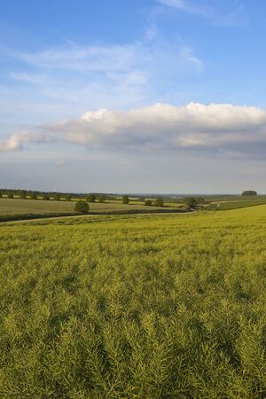evening sunshine on a scenic ripe oilseed rape crop with a view of the vale of york under a summer cloudy sky in the yorkshire wolds Stock Photo
