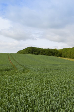 a green hillside wheat field with tyre tracks near woodland under a summer cloudy sky in the yorkshire wolds 版權商用圖片