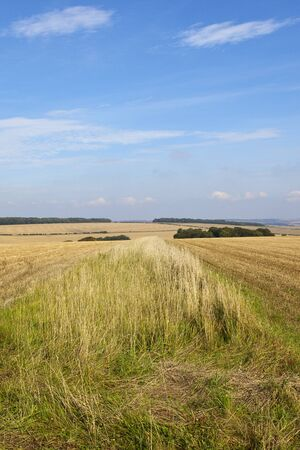 a verge of dry autumn grasses in amongst wheat stubble fields at harvest time with woodland and hedgerows under a blue sky in the yorkshire wolds Stock Photo