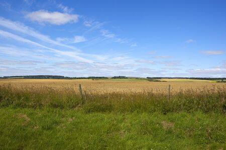 golden barley crop with agricultural scenery in the yorkshire wolds under a blue sky in summer