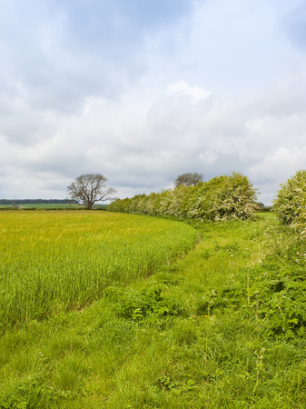 springtime barley crop with a hawthorn hedgerow in blossom under a blue cloudy sky in the yorkshire wolds
