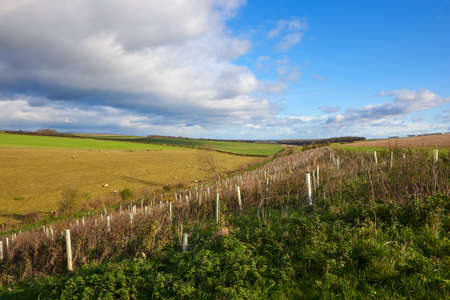 a young plantation near grazing meadows and hedgerows under an autumn cloudy sky in the yorkshire wolds Stock Photo