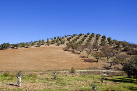a spanish landscape with plow soil and hillside olive groves beside a track under a clear blue sky in andalucia