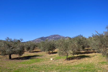 mature olive groves with mountain scenery in andalucia spain under a clear blue sky