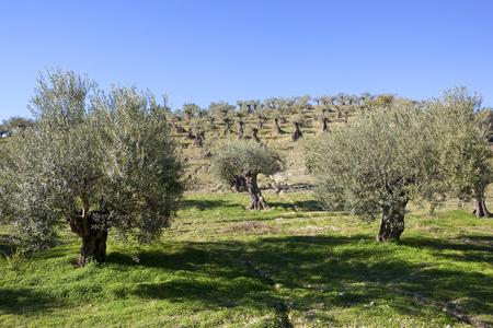 een volwassen olijfgaard op een heuvel met verwrongen stammen in Andalusië Spanje onder een heldere blauwe hemel