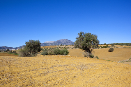 arid olive grove scenery with mountains sand and trees under a blue sky in andalucia spain Stock Photo