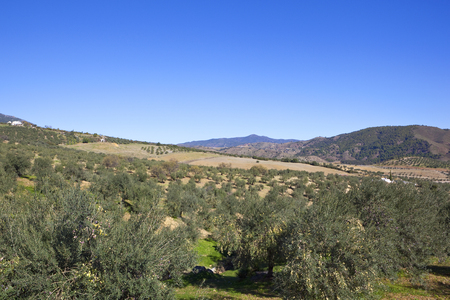 andalusian olive production with olive groves woodland and mountain scenery under a clear blue sky in southern spain