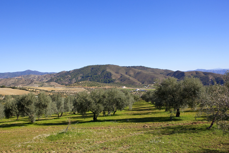 a grassy olive grove overlooking arid farming landscape with wooded mountains under a blue sky in andalusia spain Stok Fotoğraf