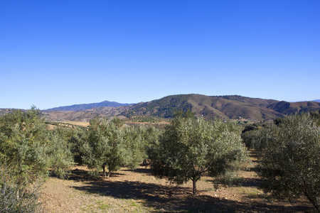 olive groves with mountain scenery in an arid landscape under a blue sky in andalusia spain Stock Photo
