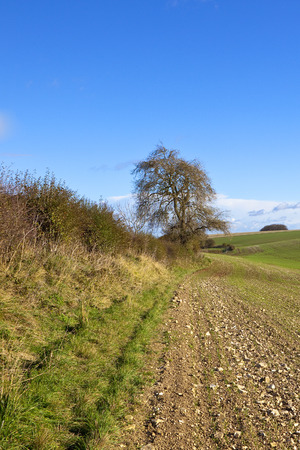 a winter ash tree and hawthorn hedgerow beside a young wheat field with chalky soil under a blue sky in the yorkshire wolds Stock Photo