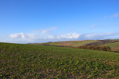 a hilltop oilseed rape crop on chalky soil overlooking a wooded valley in winter in the yorkshire wolds under a blue sky