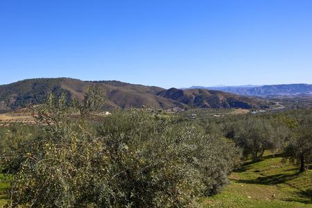 spanish oilve farms in an arid landscape with wooded mountain scenery under a clear blue sky in andalusia
