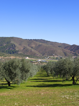 olive grove on grassy sandy soil with wooded mountain scenery under a blue sky in andalusia southern spain