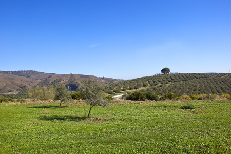 green grass and tidy hillside olive grove near dry mountain scenery with woodland under a blue sky in andalusia southern spain Stock Photo