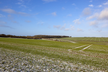 winter woodland with hedgerows near hillside wheat crops with a light covering of snow under a blue sky in the yorkshire wolds