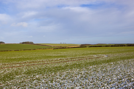 winter agricultural landscape with wheat woodland and hedgerows beside a valley in the yorkshire wolds under a blue cloudy sky