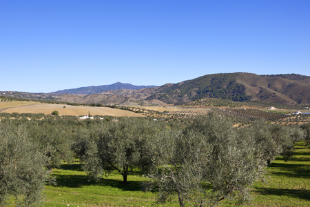 an arid scenic olive plantation with wooded mountains under a blue sky in andalusia spain