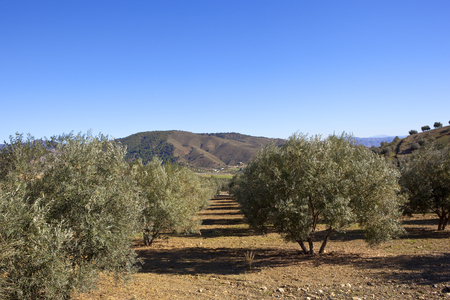 arid olive groves with mountain scenery under a blue sky in andalusia spain Reklamní fotografie