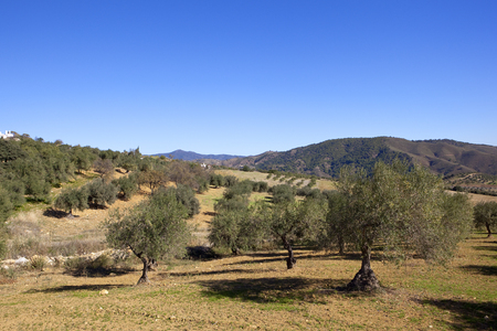 sandy olive grove scenery in southern spain with wooded mountains under a clear blue sky in andalusia