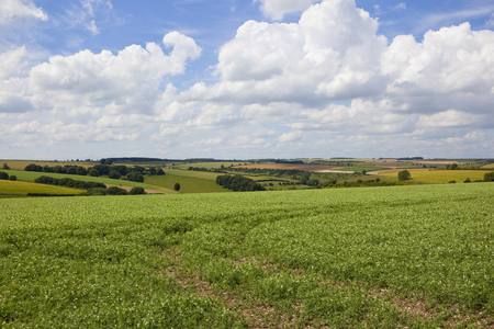 a scenic pea field with a patchwork agricultural landscape under a blue summer sky with fluffy white clouds in the yorkshire wolds Stock Photo