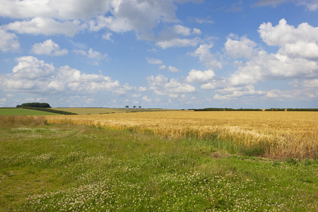 a golden barley field with woodland copse and clover in the foreground under a summer blue sky in the yorkshire wolds