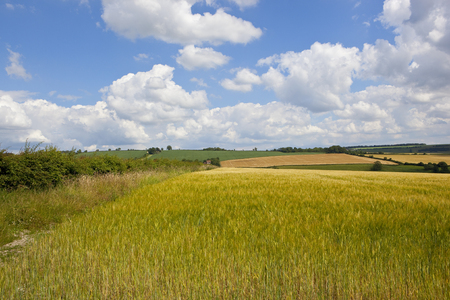 a ripening golden green barley field in the scenic hills of the yorkshire wolds with a hawthorn hedgerow under a summer blue sky with white fluffy clouds