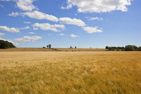 summer golden barley fields near woodland and wheat under a blue sky with white clouds in the yorkshire wolds