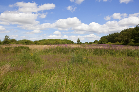 a wildflower meadow with willowherb and dry grasses near woodland under a summer blue sky in the yorkshire wolds