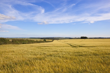 scenic golden barley fields with hawthorn hedgerows woodland and tyre tracks under a blue sky with white cloud in the yorkshire wolds in summer