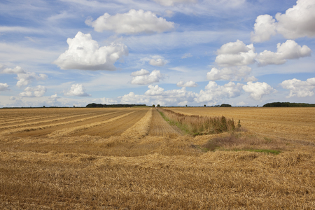 a golden harvested wheat field with hedgerow and copse under a blue cloudy summer sky in the yorkshire wolds